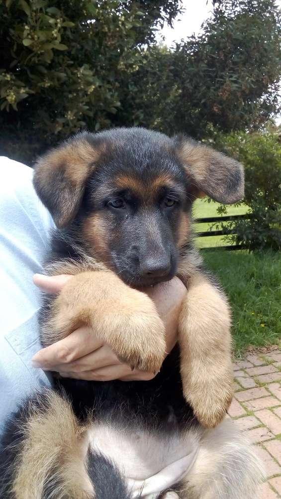 Lindas cachorras pastor aleman